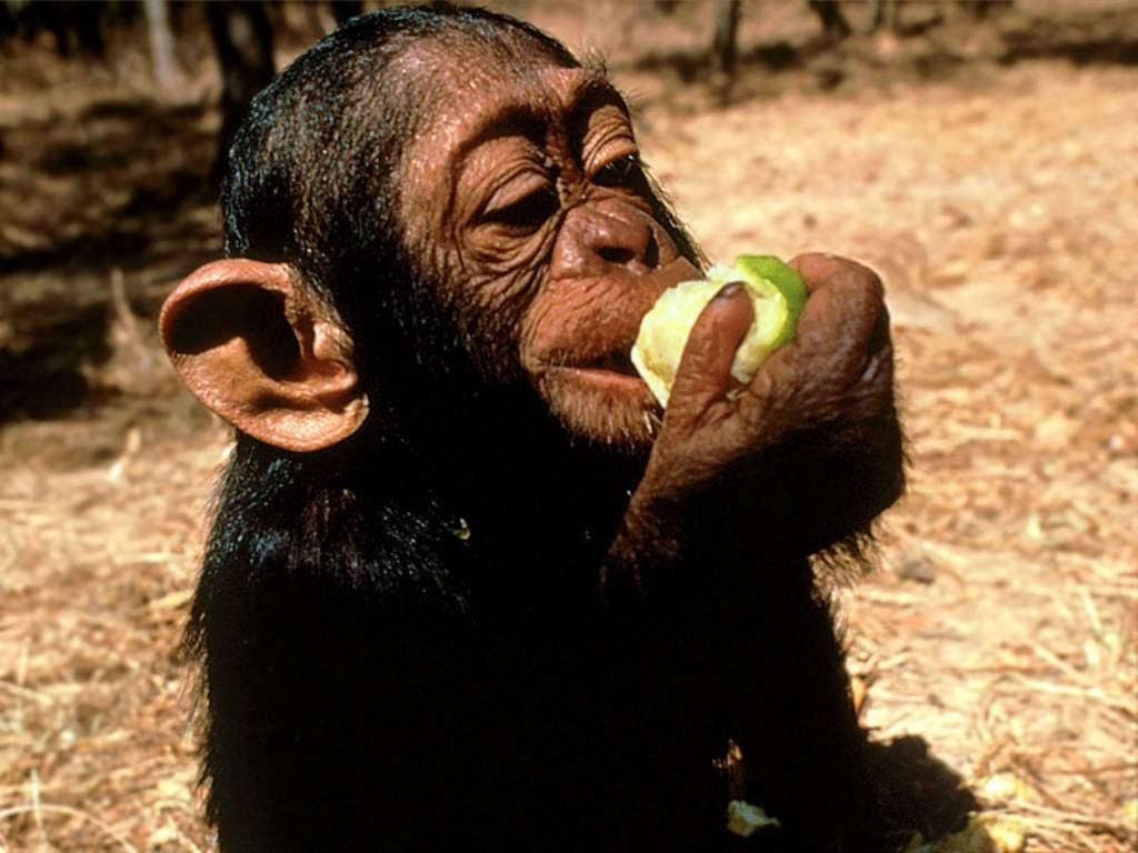 Amazing African Animals: Endangered African Chimps With ...
