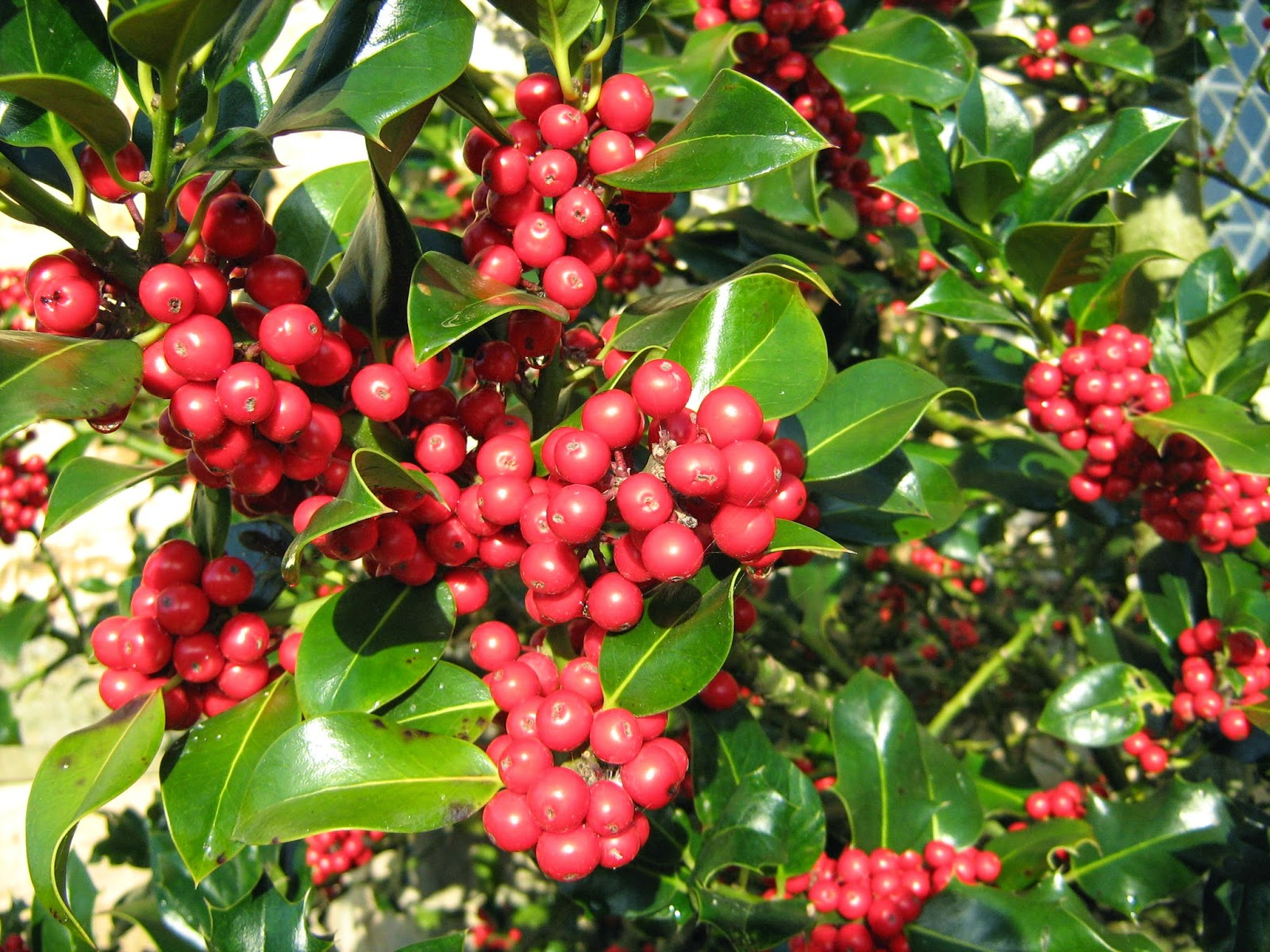 Photo of holly berries in Trowbridge