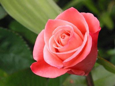 Gambar Bunga Mawar Pink
