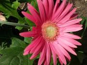 Pink Gerber Daiy