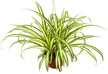 Spider plant in hanging basket.