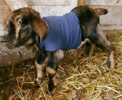 Day old baby goat with contracted tendons.