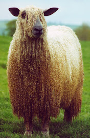 Wensleydale Sheep are awesome