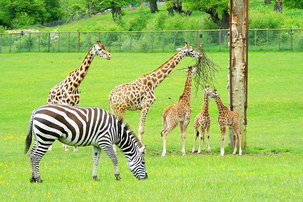 zebras and giraffes - photo #11