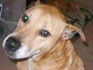 Sammy, a lovable mixed breed 12 year old mutt looking for a home in Southern CA.