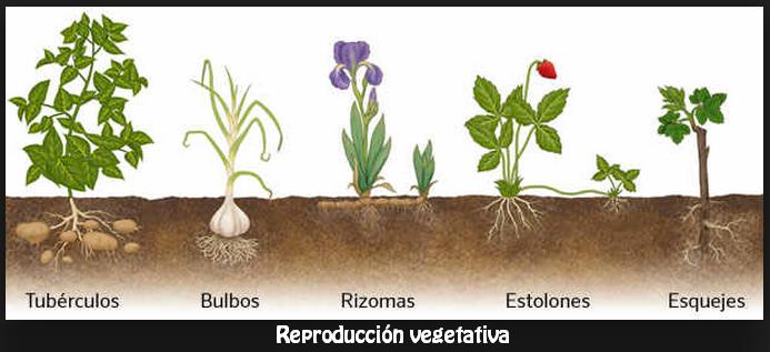 Mamiferos placentarios reproduccion asexual de las plantas