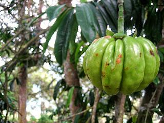 garcinia cambogia pure fruit
