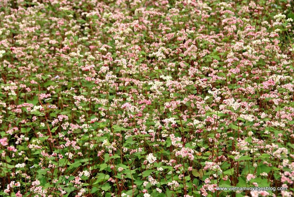 Đến Đồng Văn chiêm ngưỡng vẻ đẹp của hoa Tam Giác Mạch