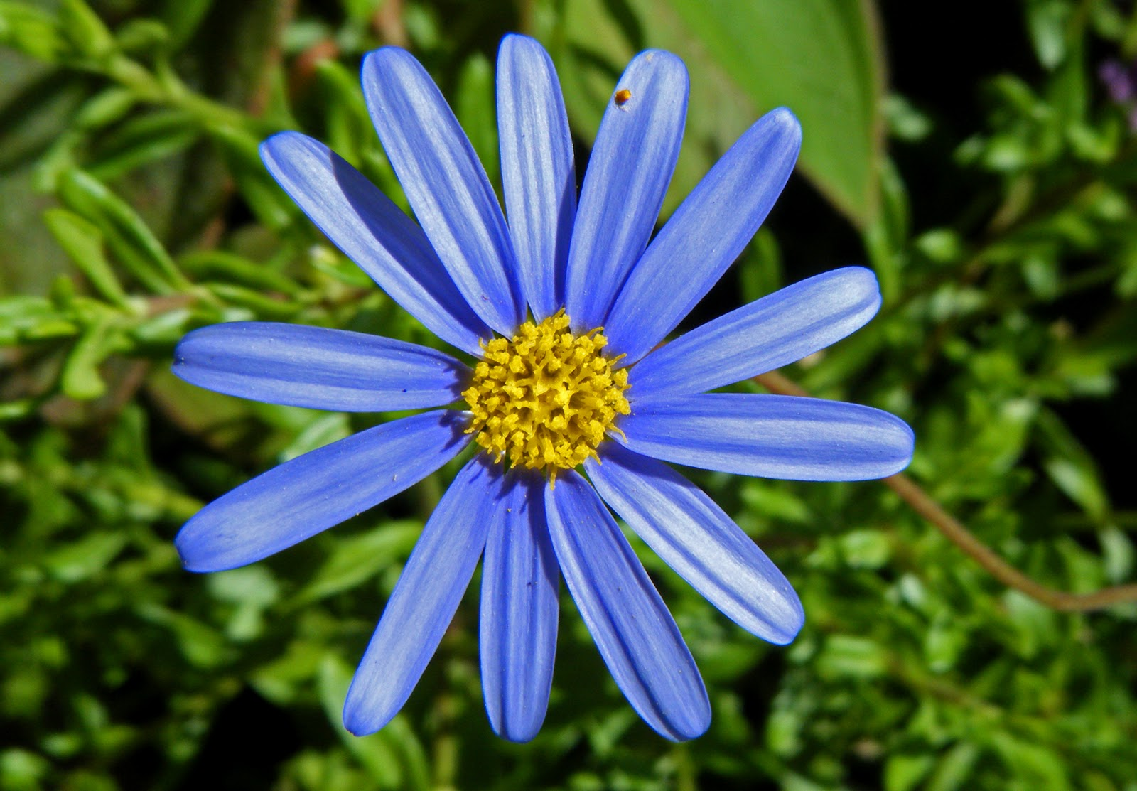 Flowers & Planets Blue Aster Flowers
