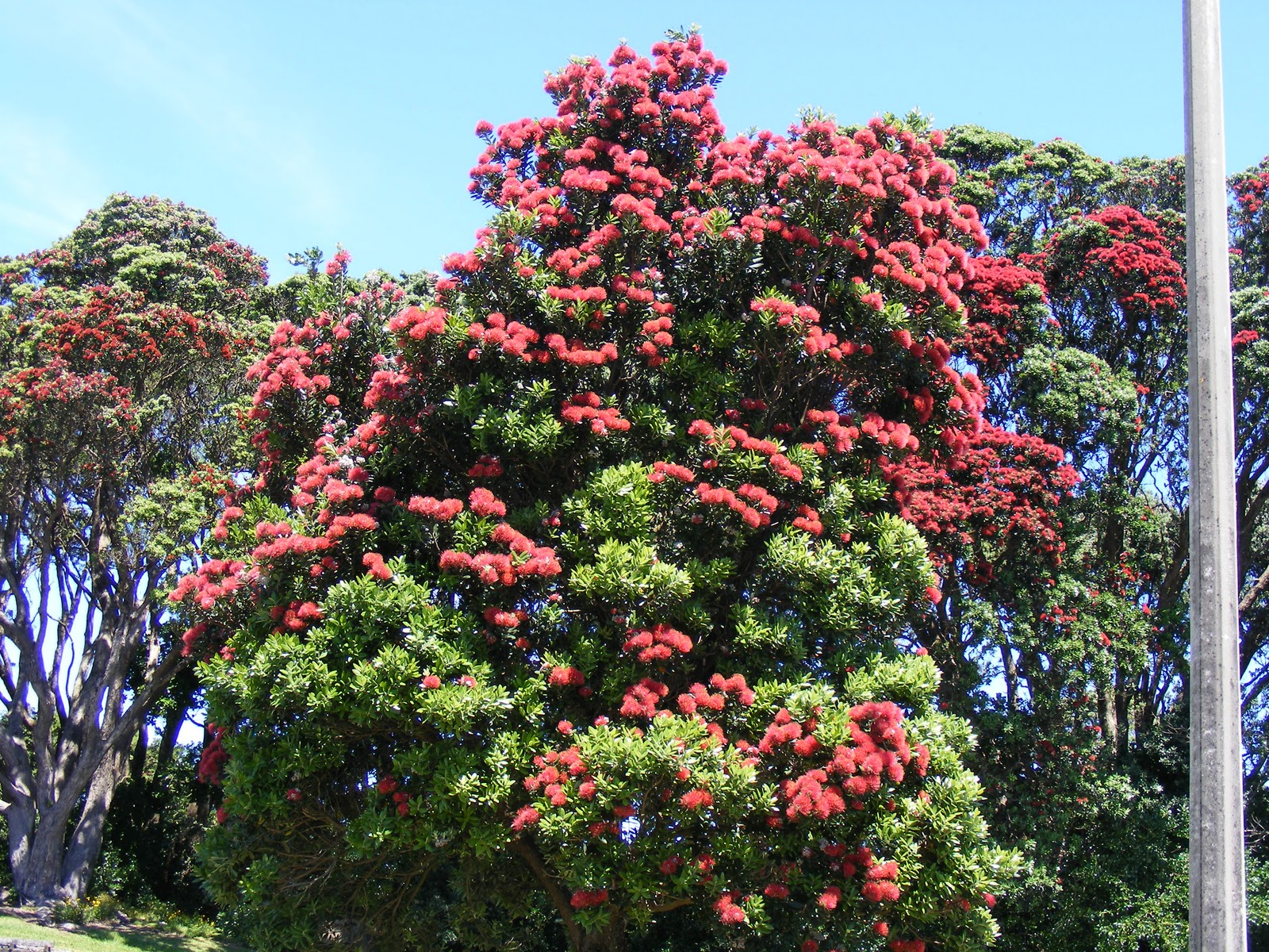 pohutukawa tree The pohutukawa tree (metrosideros excelsa) with its crimson flower has become an established the first known published reference to the pohutukawa as a christmas tree came in 1857 when 'flowers.