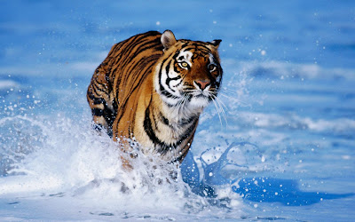 Free Hd Wallpaper of Bengal Tigers