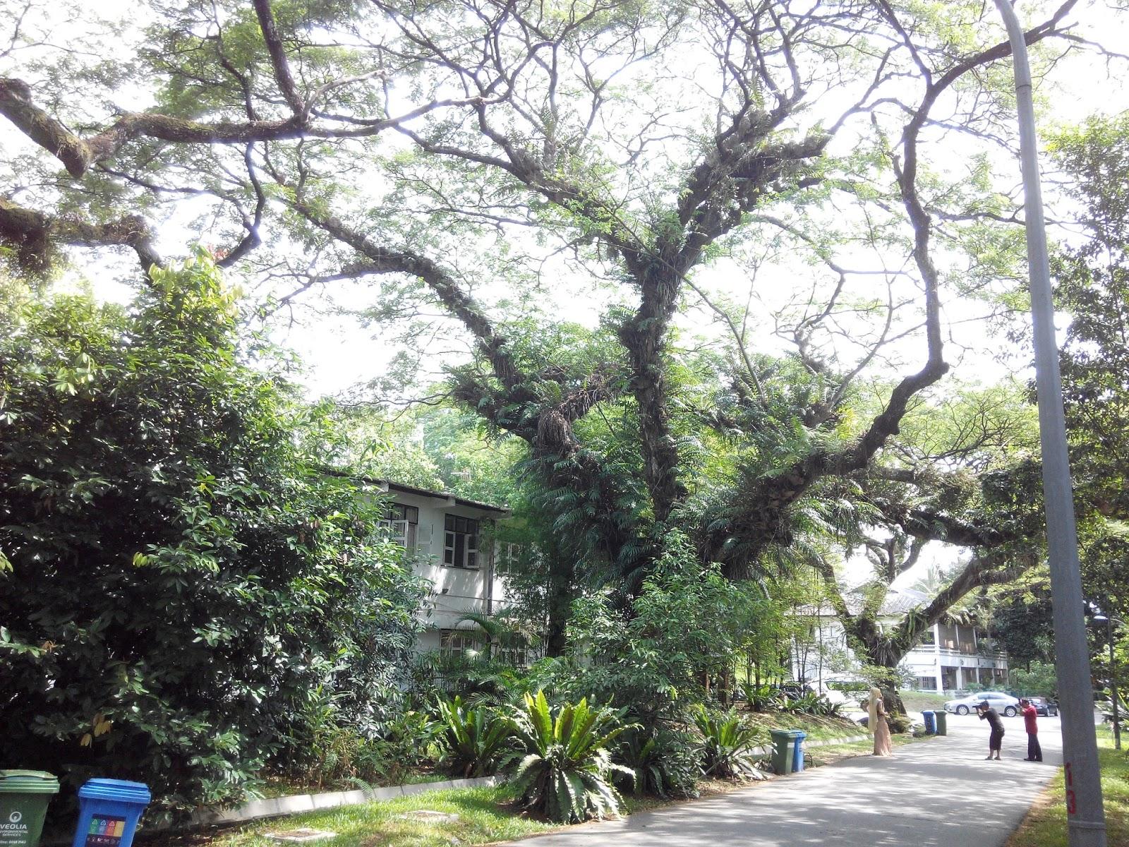 InSaNeTz The English Colonial Houses and Rain Tree of Jalan Hang Jebat
