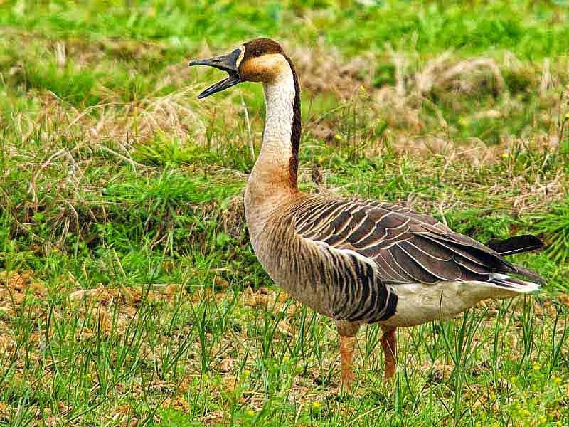 Swan Goose, talking