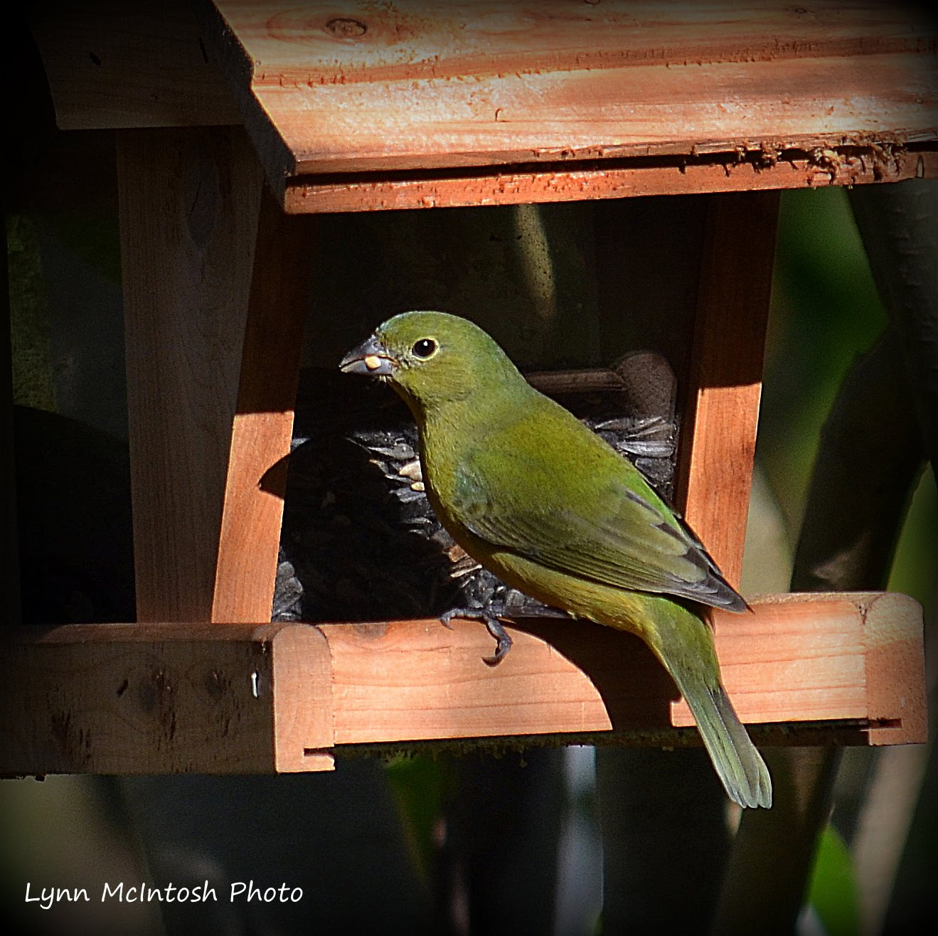 Female or immature Painted Bunting