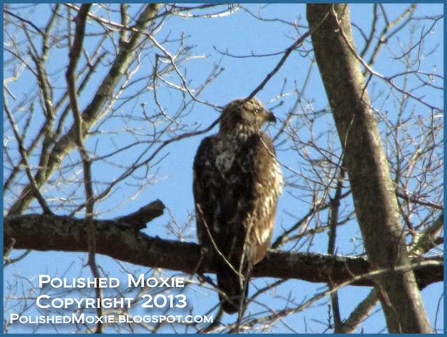 Image of young eagle sitting in tree in profile.