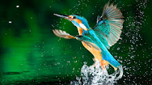 King Fisher wallpapers