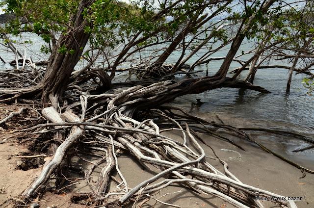 Martinique - pointe de la Caravelle - randonnée -mangrove