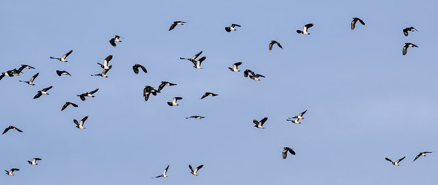 Lapwings in flight (1)