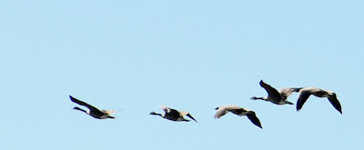 Geese. Migration - photo by Shelley Banks