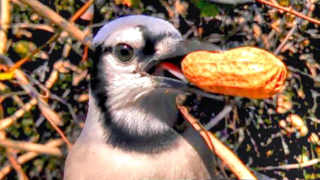 hand feeding blue jay peanuts