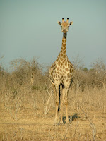 Garry the friendly girafe