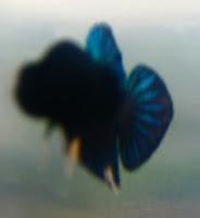 Gambar ikan Cupang Adu