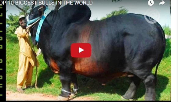 Top 10 Biggest Bulls In The World The Nepali Video
