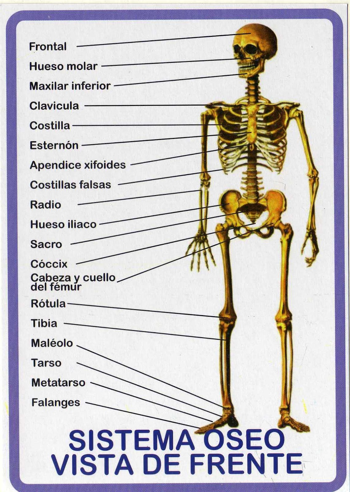 Excepcional Sistema Esquelético Cuello Ideas - Imágenes de Anatomía ...