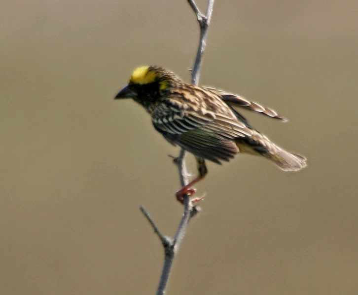 Gambar Cara Merawat Burung Manyar