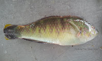 Bubblefin Wrasse
