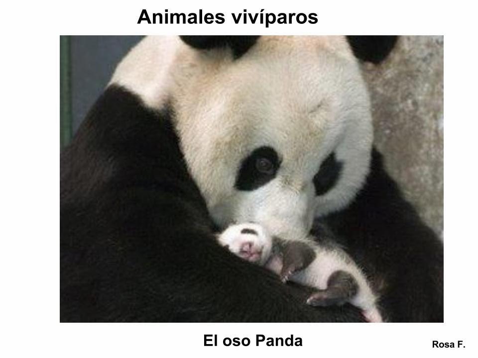 La Chachipedia: Animales vivíparos