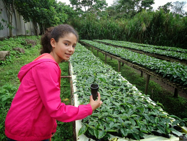 Nicaraguan coffee nursery