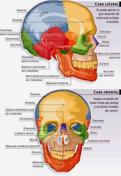 ANATOMÍA Y FISIOLOGÍA HUMANAS: SISTEMA MÚSCULO ESQUELÉTICO: Huesos ...