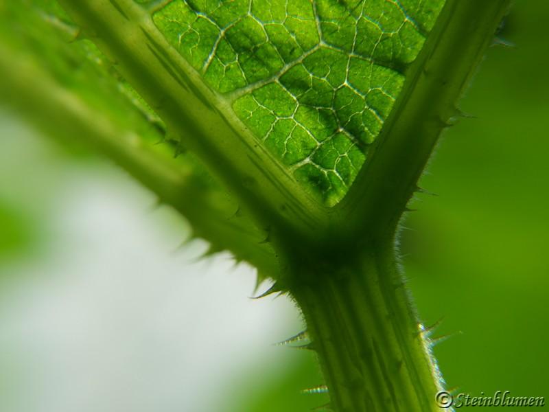 Kürbispflanze Blatt