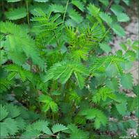 http://plantsgallery.blogspot.com/2014/03/sanguisorba-officinalis-krwisciag.html