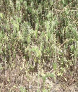 opuntias cactacea
