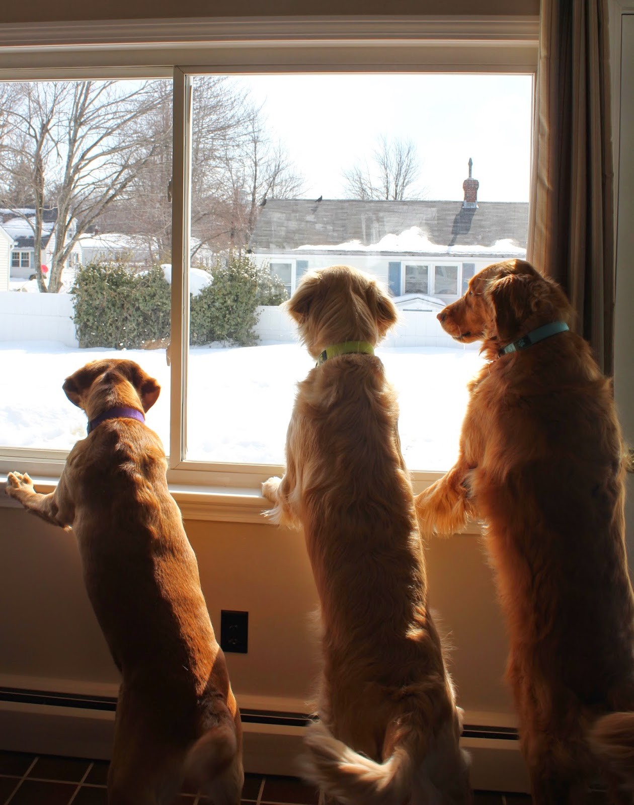 dogs looking out window for spring
