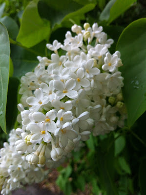 White Lilac from Florence Park