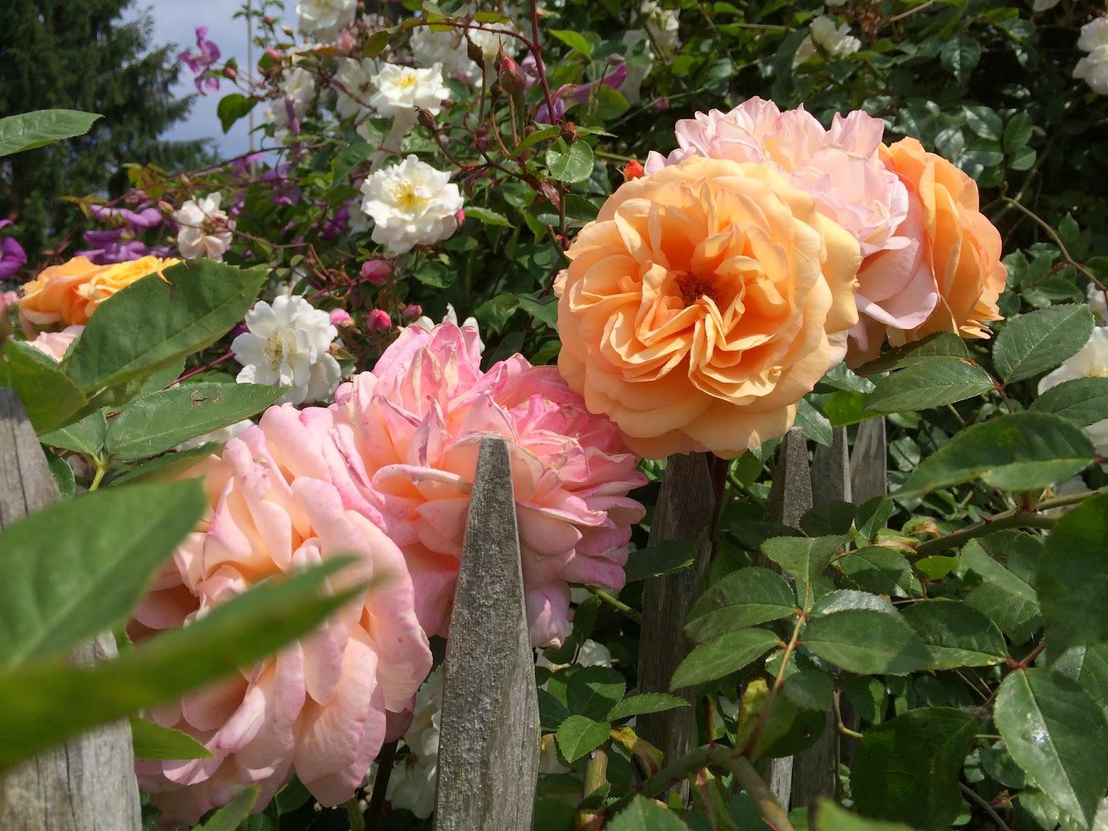 la passion des rosiers la p pini re fil roses 5 conseils pour obtenir des rosiers sains et. Black Bedroom Furniture Sets. Home Design Ideas