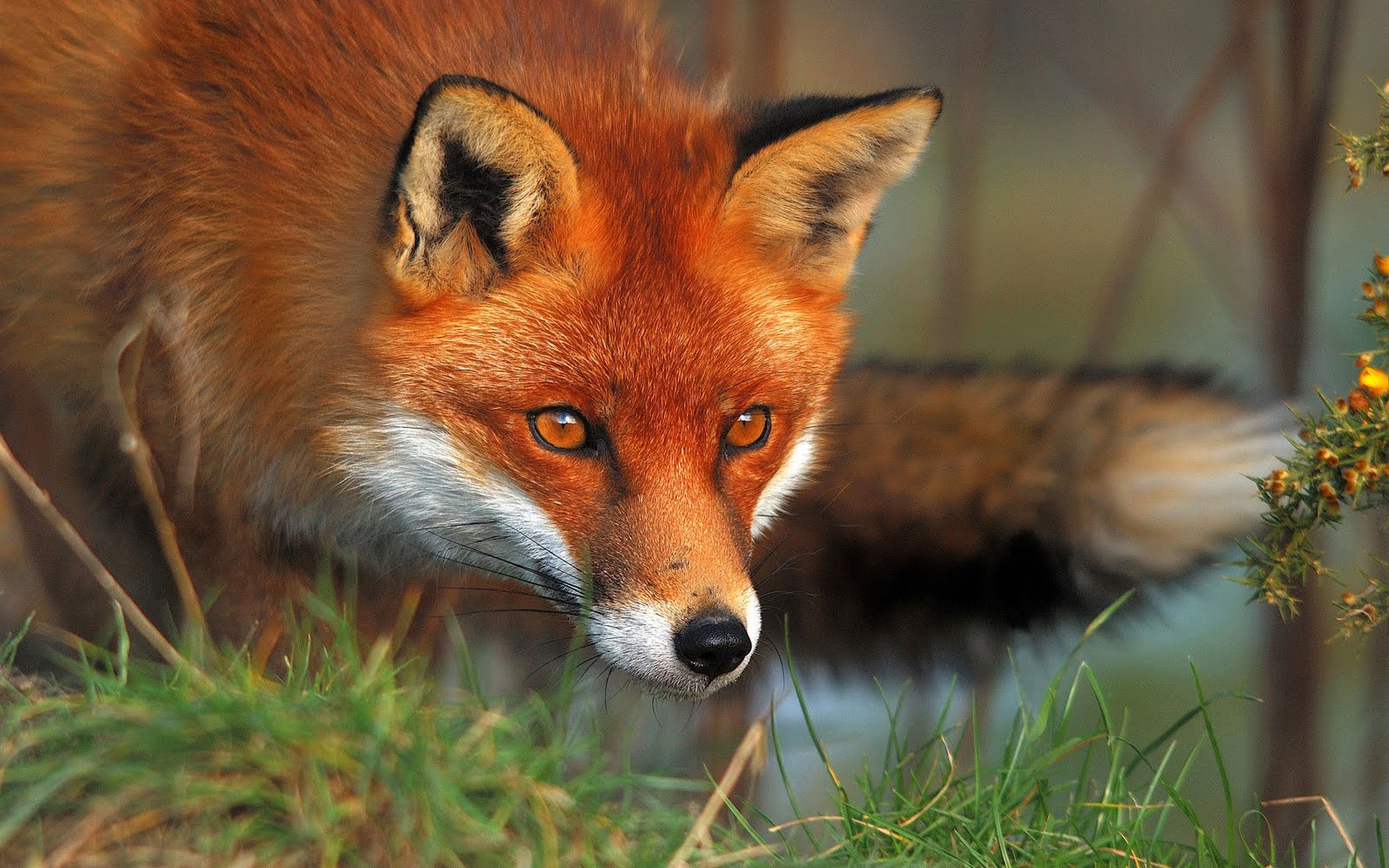 Red Foxes Animal