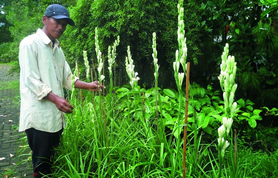 Cara menanam Budidaya bunga sedap malam di pekarangan