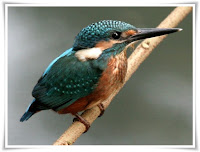Kingfisher Animal Pictures