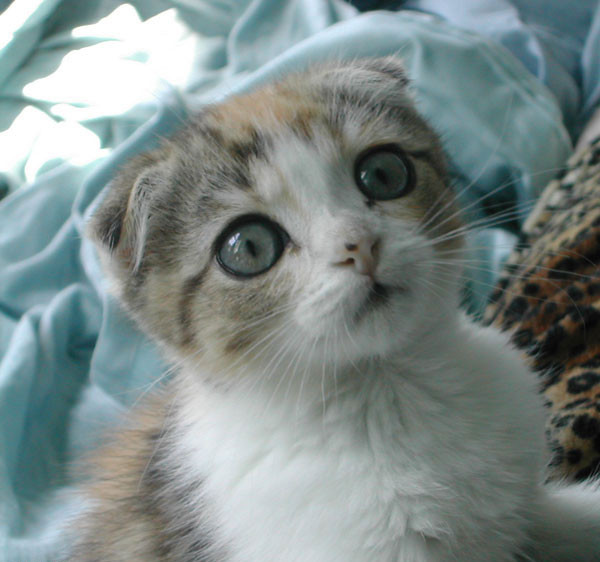 Scottish Fold Review and Wallpapers