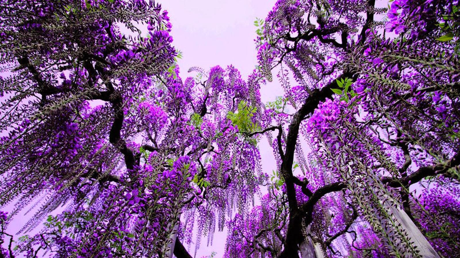 Gambar Pohon Daun Ungu Csntik Wallpaper Pemandangan Alam Indah