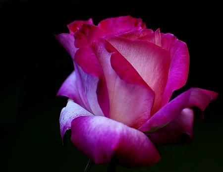 roseta ❀ : Aqui os dejo una rosa, elegir la que mas os guste