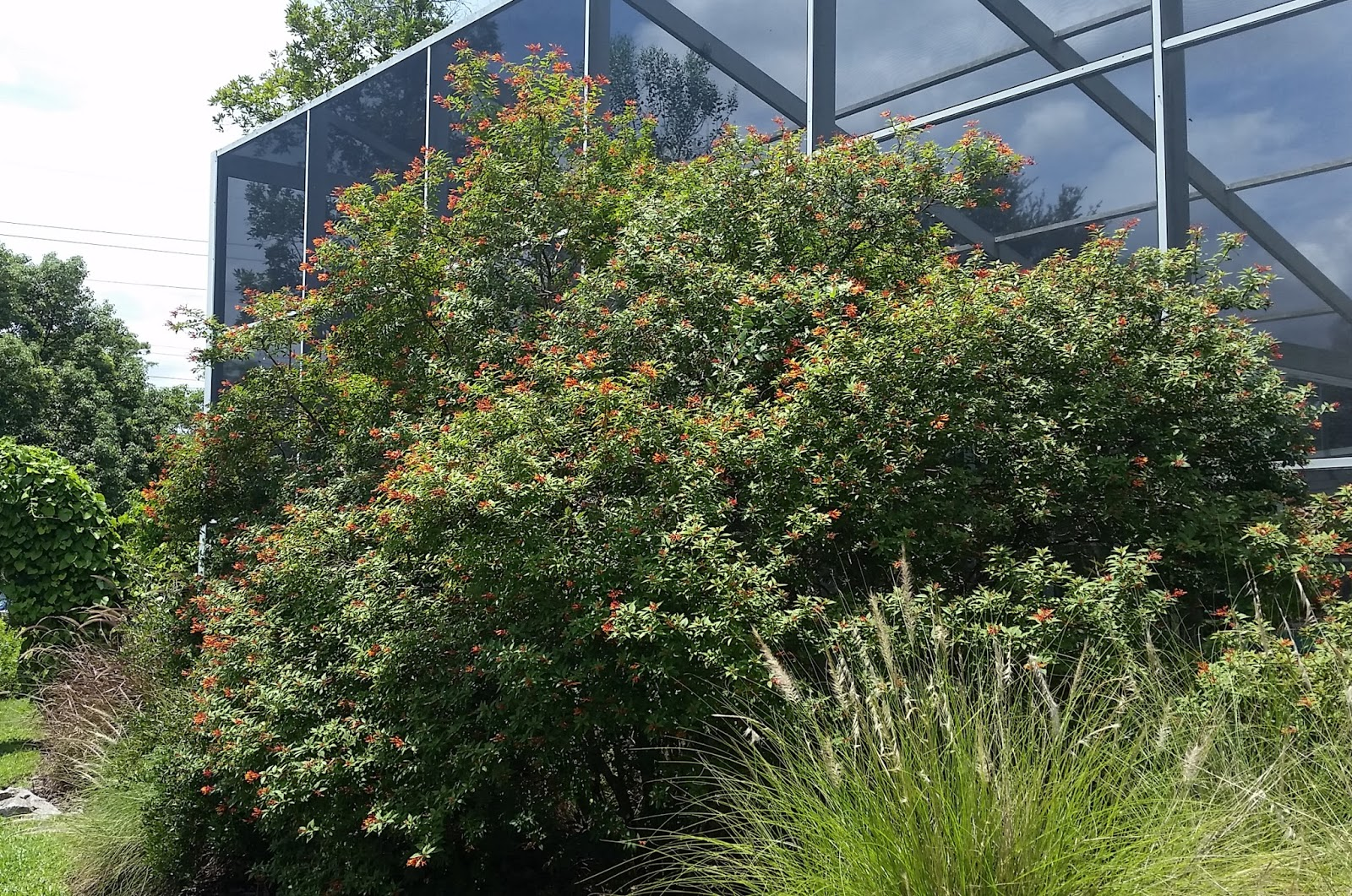 Firebush Can Quickly Grow Into A Tall Shrub And Can Be Pruned Into A Small  Tree. If You Donu0027t Have Enough Room For Such A Large Plant Look For The  Dwarf ...