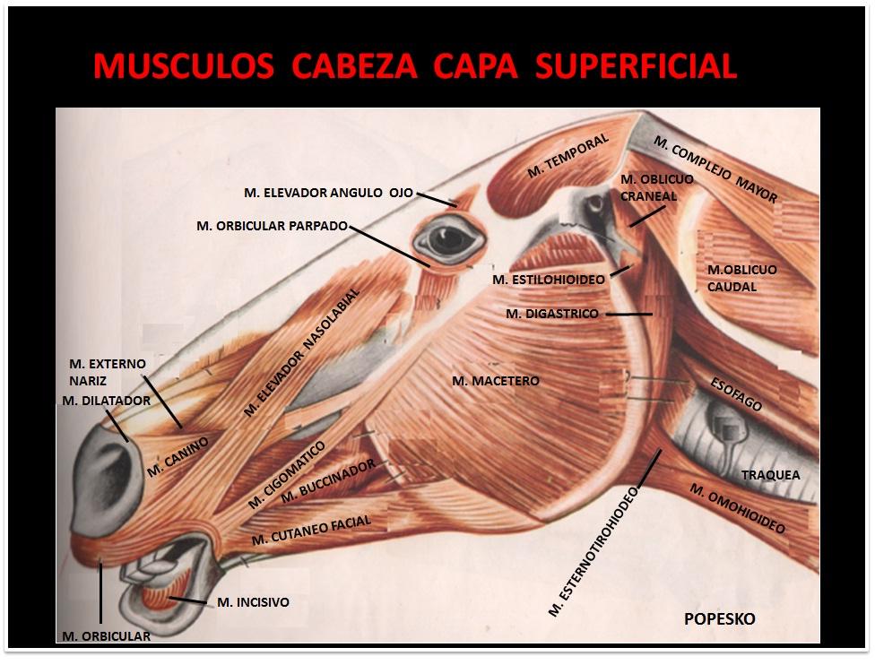 Único Anatomía Cabeza Equina Imágenes - Imágenes de Anatomía Humana ...