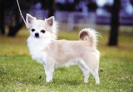 Chihuahuas image
