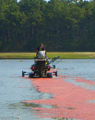 A farmer using a water tiller to knock the cranberries off the vine