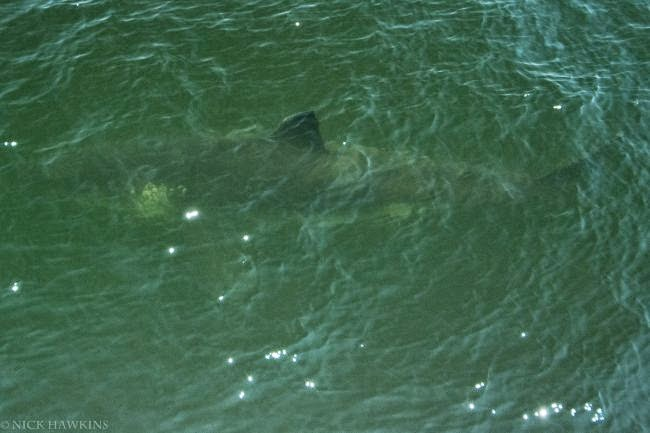 http://www.thevanguard.ca/News/Local/2014-07-23/article-3810906/Great-White-Shark-sighting-on-NB-side-of-Bay-of-Fundy/1